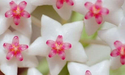 Hoya Plant Care – How To Properly Look After Your Hoya