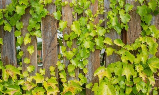 Will Ivy Damage My Fence? (Everything You Need To Know)
