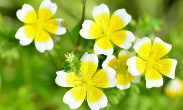 When Will My Poached Egg Plant Flower? (All You Need To Know)