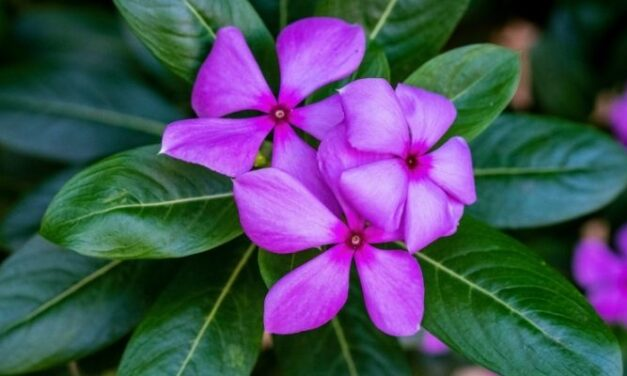Why Is My Vinca Plant Drooping? (And How To Treat It)
