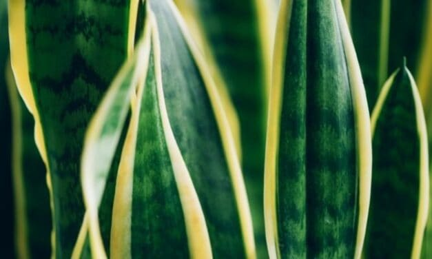 Will A Snake Plant Grow More Leaves? (And How To Make It Bushier)