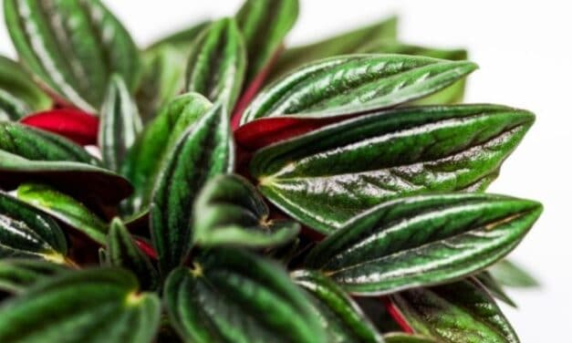 Can Peperomia Grow In Low Light? (All You Need To Know)