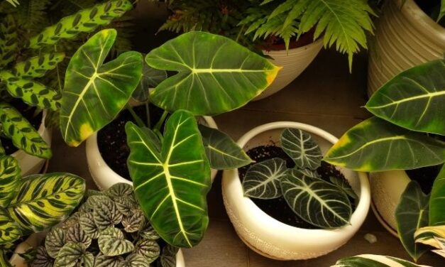 Why Are My Philodendron Leaves Getting Smaller? (And How To Grow Them Big)