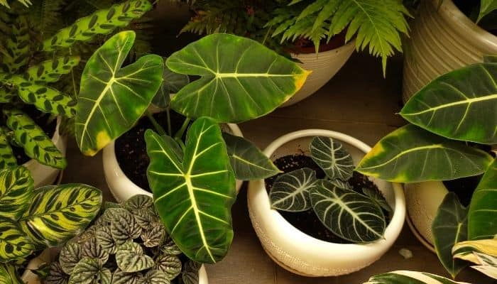 A Philodendron with small leaves