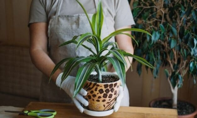 Will My Corn Plant Get Taller? (All You Need To Know)