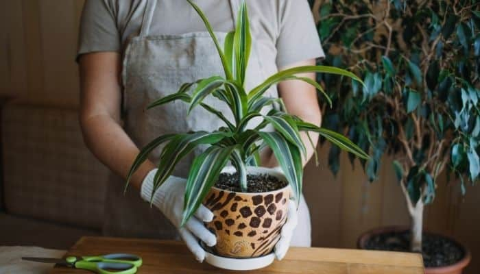A potted corn plant